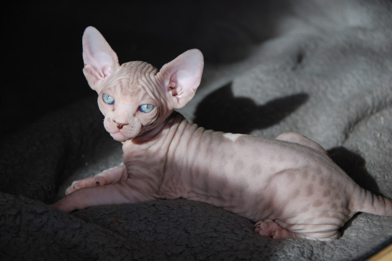 Vaccinating Recommendations Cat Nocoatkitty Sphynx