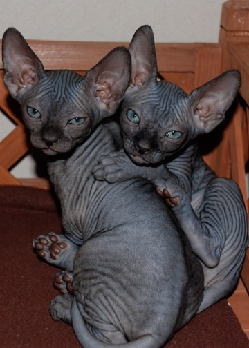 how much does a sphynx cost - hairless cat price - sphynx