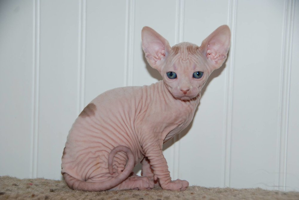 Red and White Sphynx