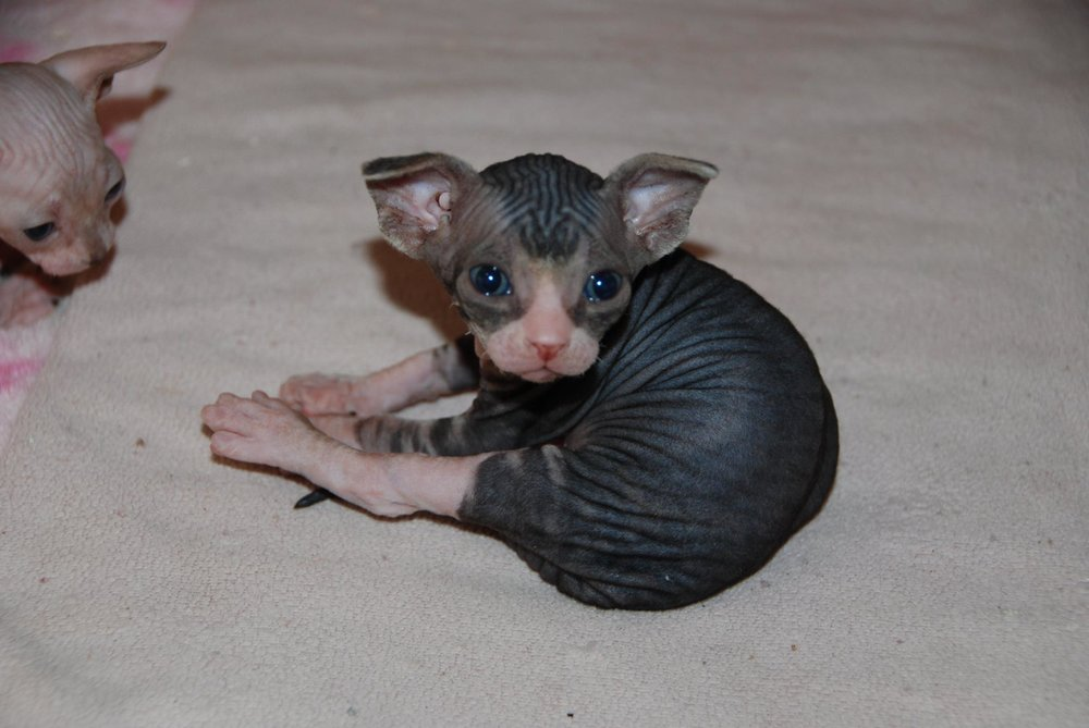 Black Tabby and White Sphynx