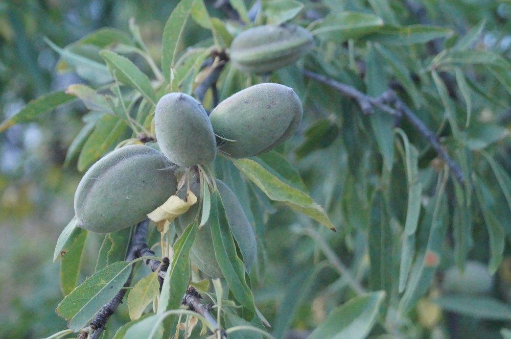 olive-leaf-spray-sore-throat