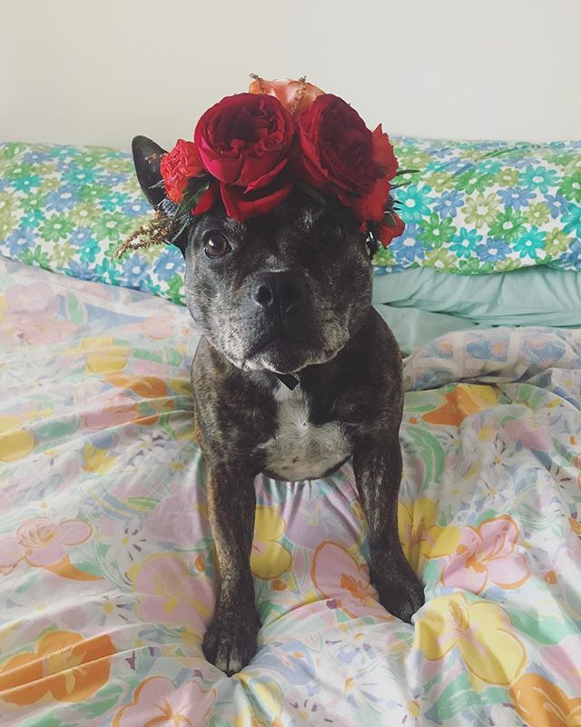 I woke up like this 💁🏻🌸 . #staffygram#staffiesdaily#staffiesofinstagram#jennieandpaulgetwed#staffylove#staffy#staffiegram#kendone