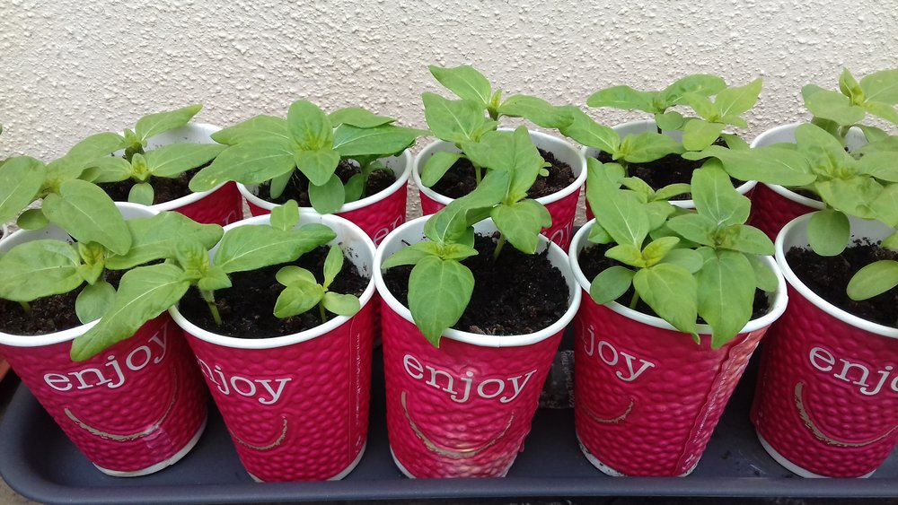 Planting in coffee cups