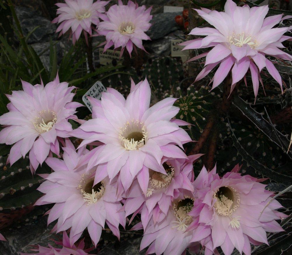 Echinopsis oxygona - 15.06.10.JPG