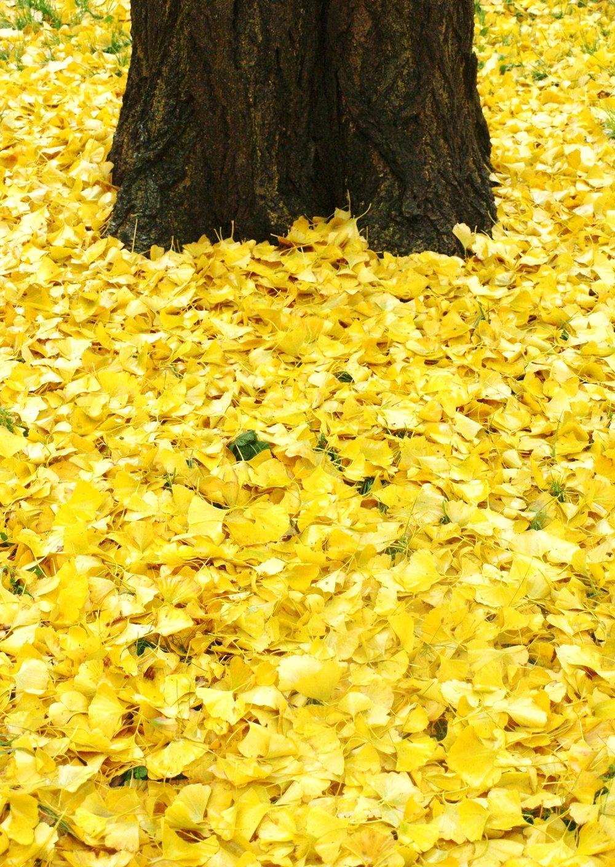 Ginkgo biloba Leaves - 26.11.14..JPG