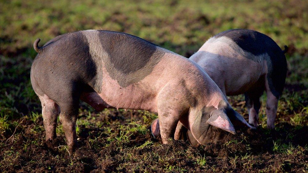Schwein-3.jpg