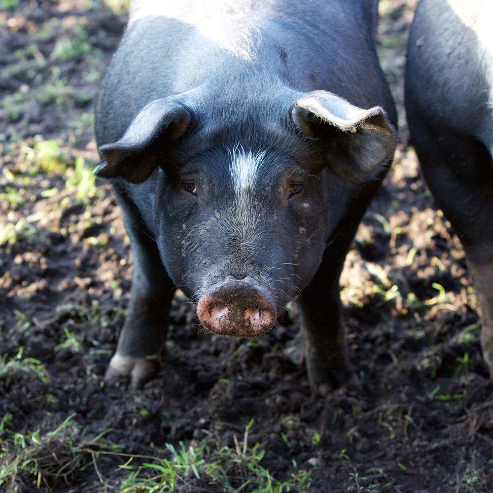 Schwein-4.jpg