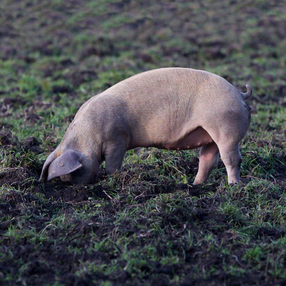 Schwein-6.jpg