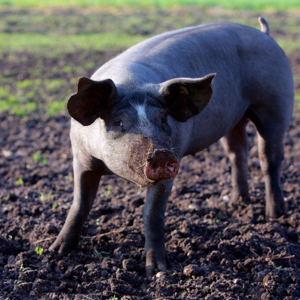 Schwein-8.jpg