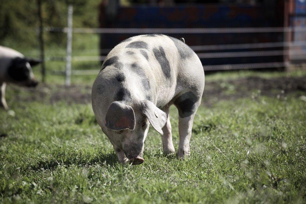 Titel-Schwein.jpg