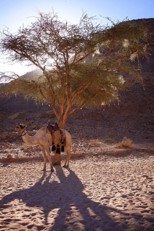 Akazie+Kamel.jpg