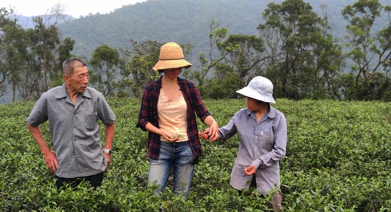 The Tea Masters of JhenTea in Taiwan picking leaves from Camellia Sinensis Plants