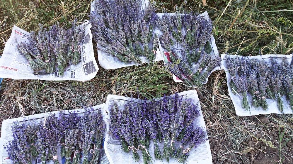 Lavender in Bloom Green Field Zana Florilor Romania Lavandula Angustifolia Sevthopolis