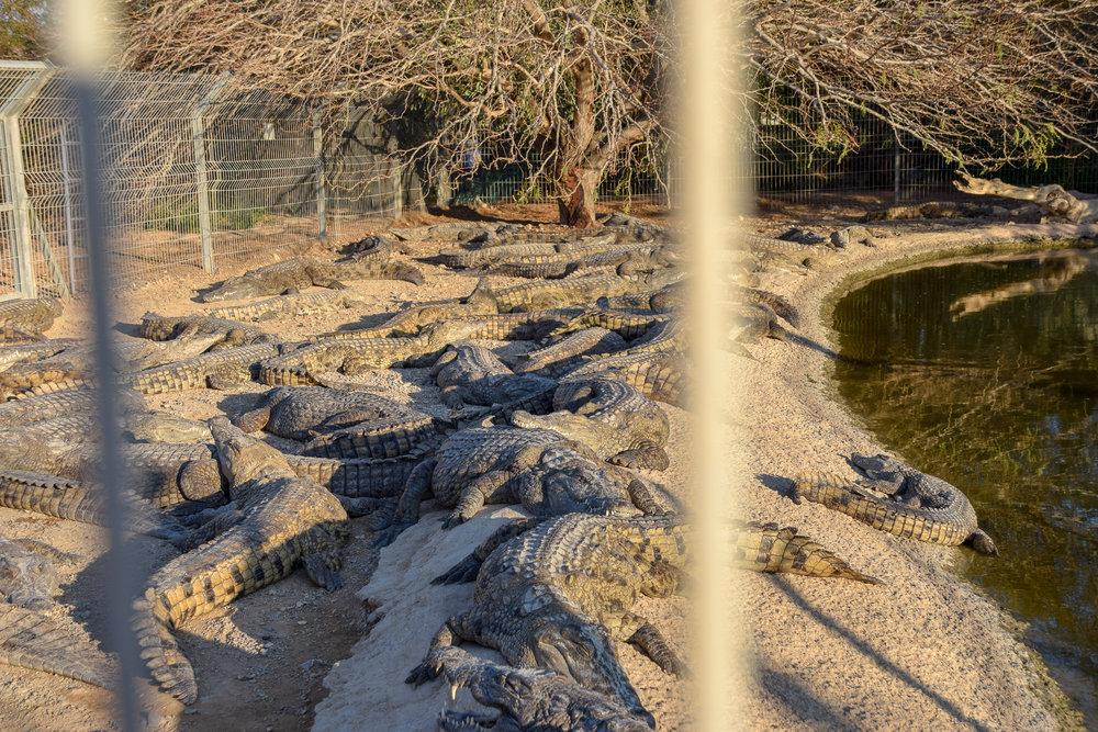 Crocodile Farm Israel.jpg