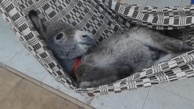 laughingsquid :      Baby Donkey Enjoys Some Really Good Belly Rubs While Swinging Happily in His Hefty Hammock