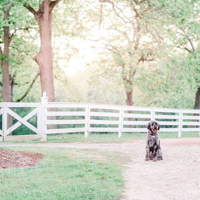 Gus patiently waiting on me to finish my photo shoot. 😁 If you don't have a dog, you might just be missing out on one of life's best gifts. 💓