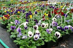 Pansies(resized).jpg
