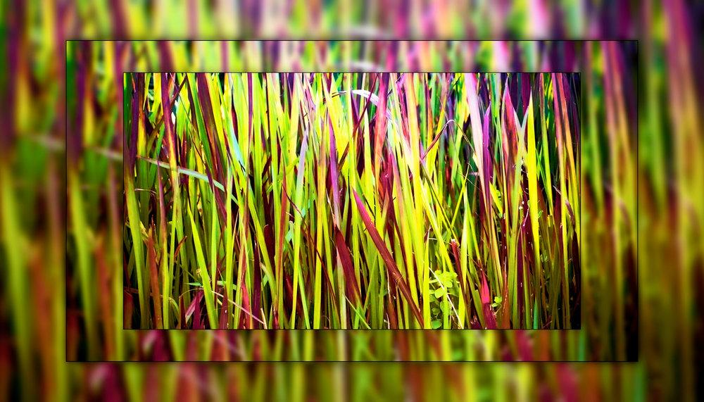 A rainbow of grass