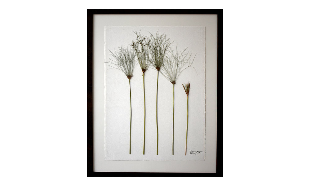 Cyperus papyrus,  30.5 x 37.25 inches, $ 3,100 SOLD