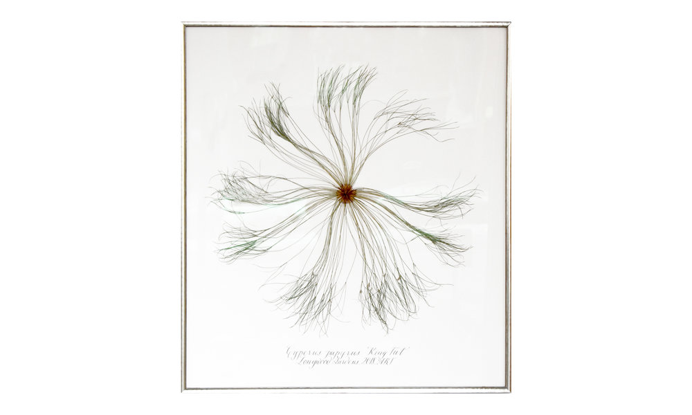 Cyperus papyrus,  41 x 46 inches, $ 4,200    Contact us for purchase
