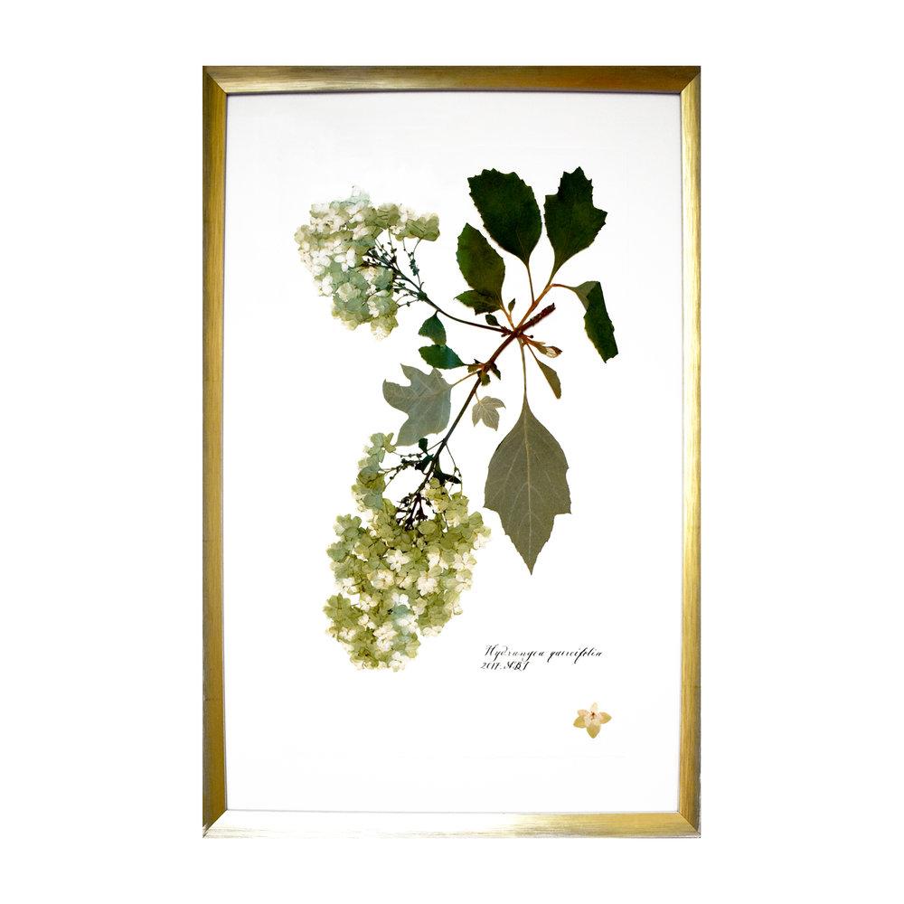 Copy of Hydrangea quercifolia