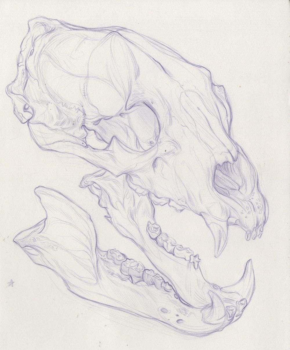 Bear skull.jpeg