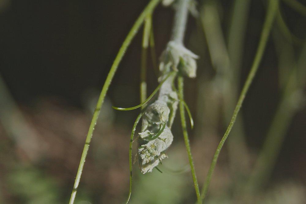 California Manroot/ Wild Cucumber, Marah fabaceus (Cucurbitaceae) last year.