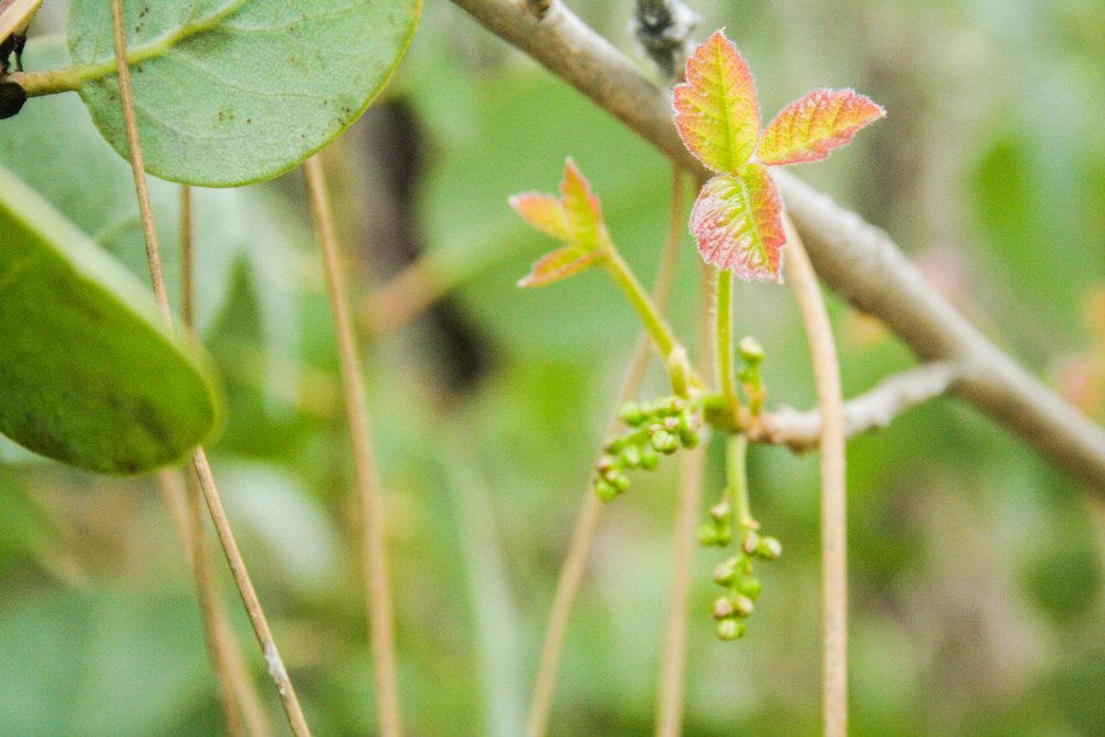 Poison Oak, Toxicodendron diversilobum (Anacardiaceae)