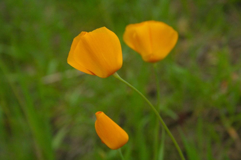 Eschscholzia californica (Papaveraceae) last year.