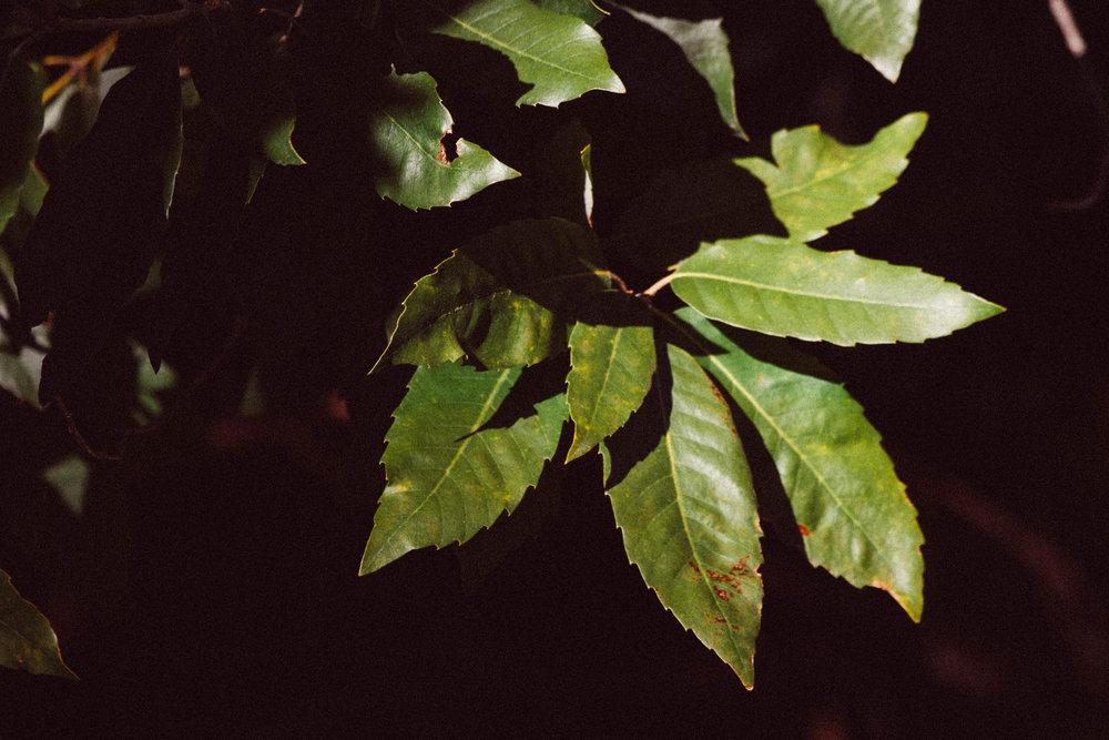 Inland subspecies of Tanback Oak,  Notholithocarpus densiflorus var .  echinoides  (Fagaceae)