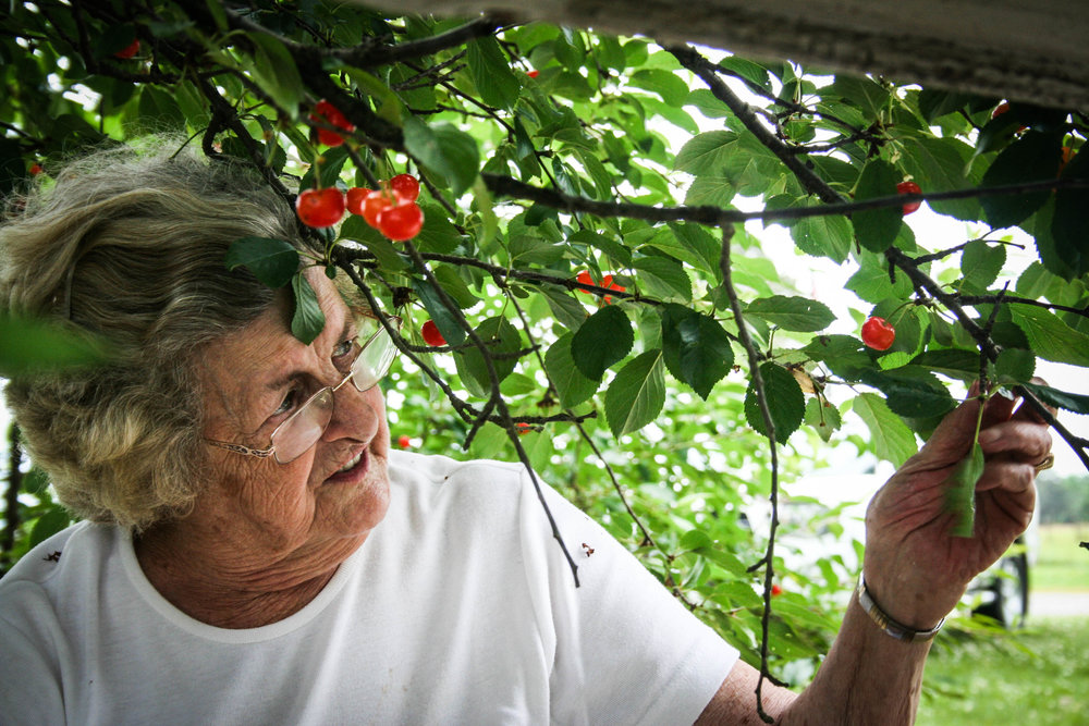 Mabel Jane, a great aunt, who is a wonderful storyteller, picks cherries from the old family trees.