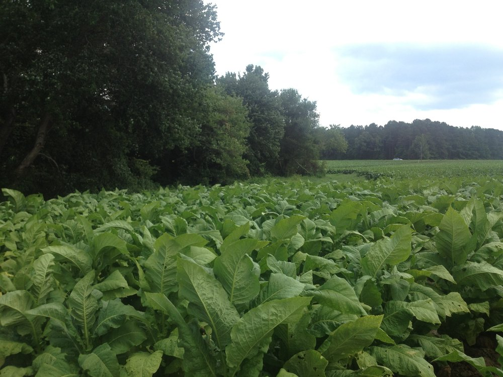 tobacco fields.