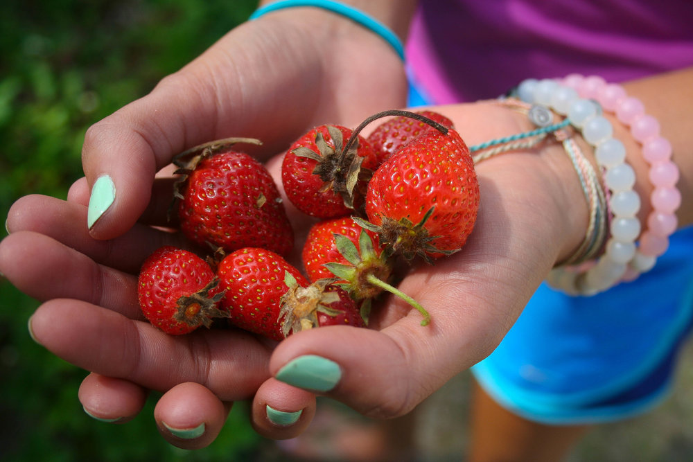 My first cousin Taylor's bright hands last Spring picking from the same strawberry patch we've always picked from.