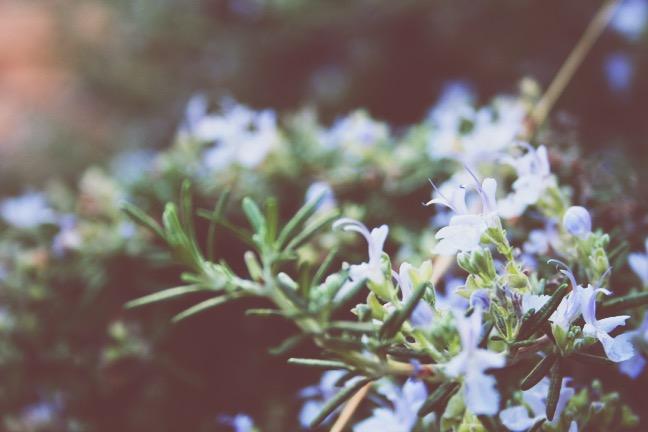 Rosemary flowering.