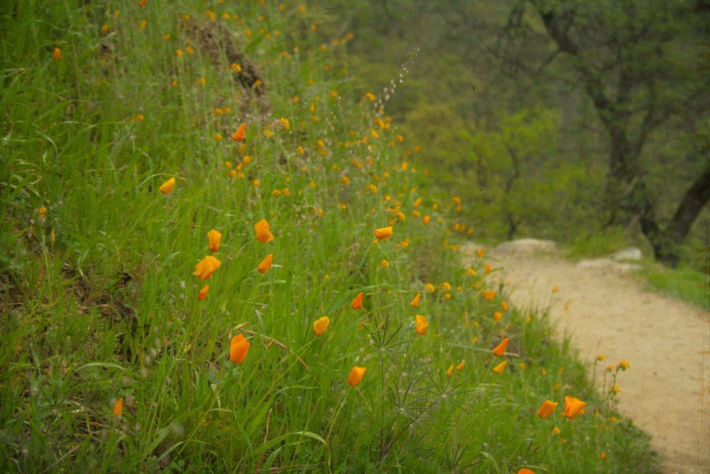 California Poppy flowering, Bridgeport State Park, CA.