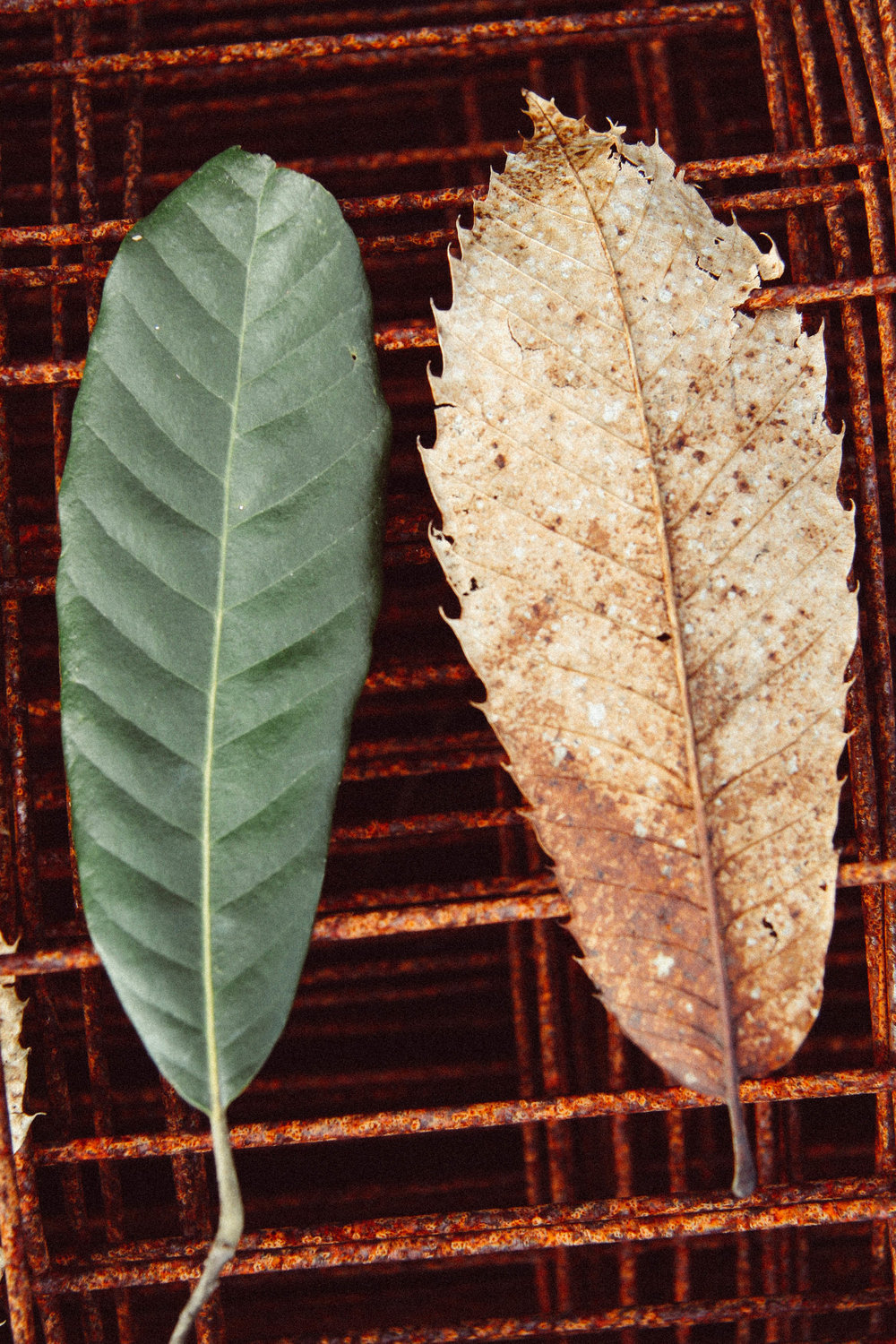 Tan Oak and Chestnut leaf comparison.