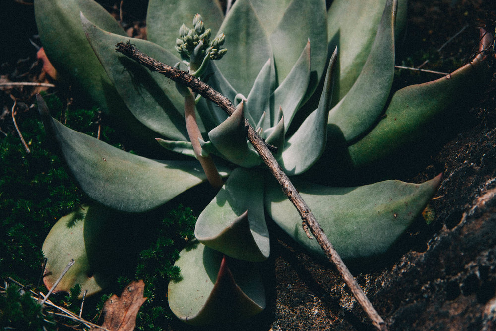 Live Forever. Dudleya cymosa (Crassulaceae)