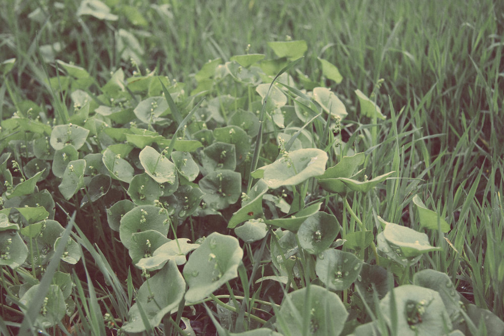 Miner's Lettuce.