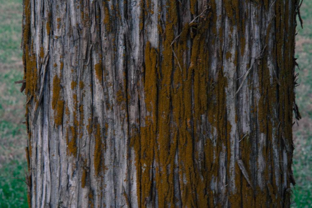Juniperus virginiana covered in lichen.