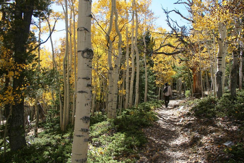Aspen grove, Great Basin National Park, Nevada, 2016.