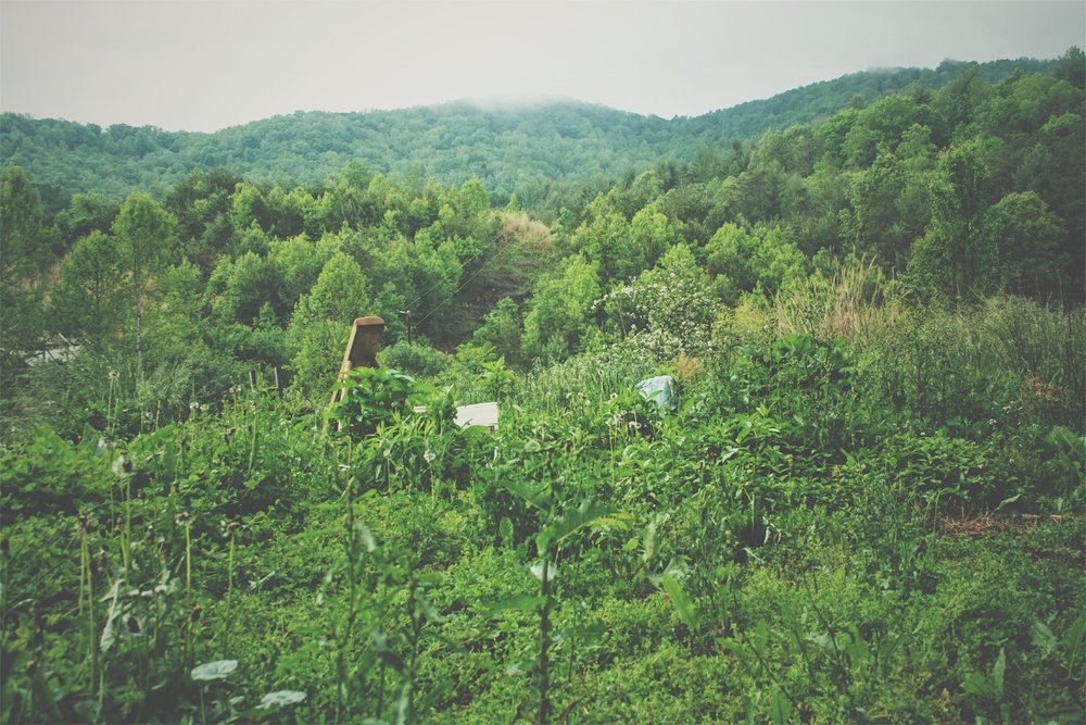 View from the cobb cottage I lived in on the farm - the hillside in the middle and forefront in various stages of turning back to forest or being maintained as a rotating pasture.  When I hear talk about the talk of 'no wildcrafting' across the board, I think about a scene like this, that I saw for many years. This pictures highlights every plant practically, taken with a camera lens that pulls in all the details. There are SO many wild plants in Appalachia, many of them very common or invasive, and the earth is literally covered inch by inch with plants for eight months out of the year. To turn this in and cultivate all of it for the sake of 'not wildcrafting' doesn't make sense. We did garden here, obviously, but at the same time there was so much to glean from the spaces around us. Especially these edge zones! Not to say that on the other side of that, the forest medicinals like Ginseng, Black Cohosh and Goldenseal need protecting after regular over-harvesting mostly from folks wanting to exploit the plants in large quantities commercially.