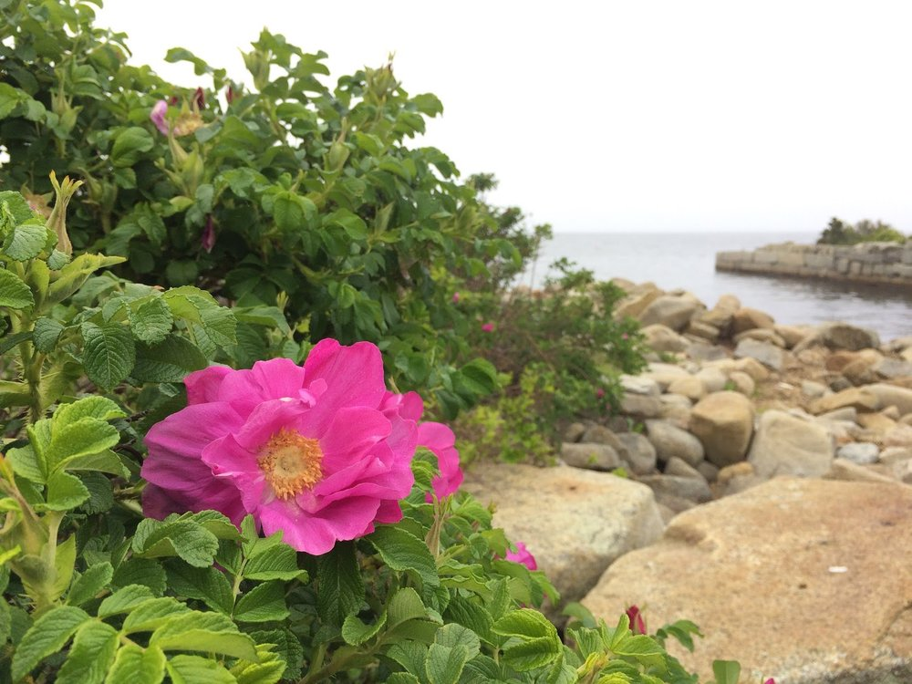 Rosa rugosa . Photo by Megan Matthers of  Heart Hand Land.