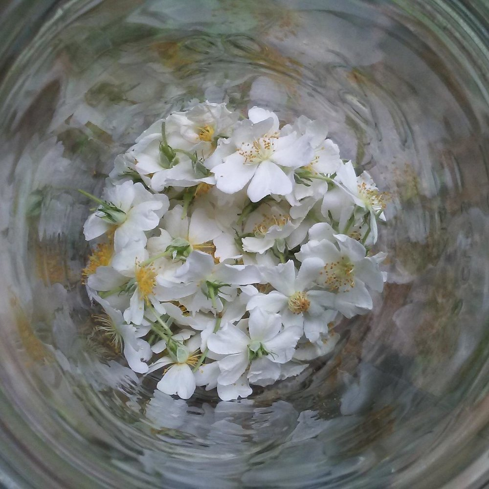 Photo of Rosa multiflora medicine making by Laura Baum of  Richmond Herbalism Guild  and  Laura's Botanicals .