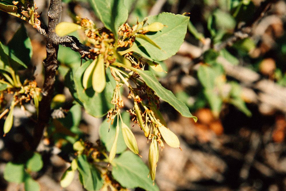 Single-leaf ash  Fraxinus anomala (Oleaceae)