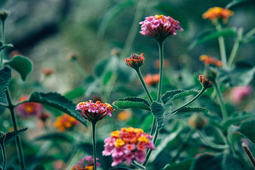 Lantana- in the Cactarium.