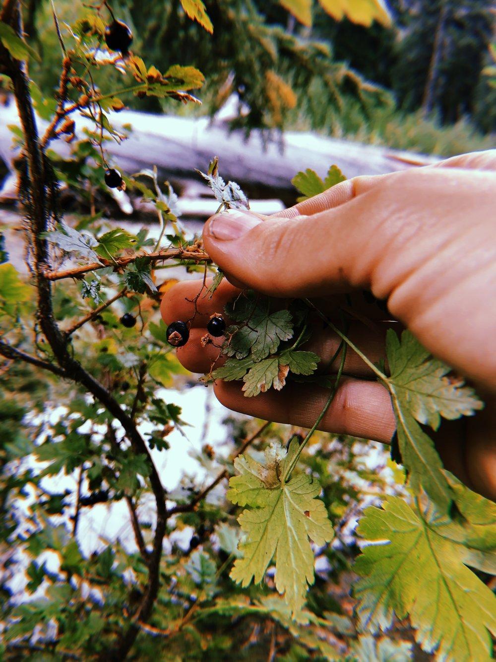 Gooseberry ( Ribes )