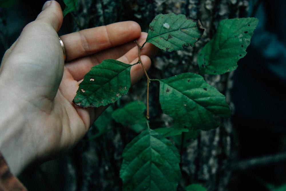 River Birch - Betula nigra