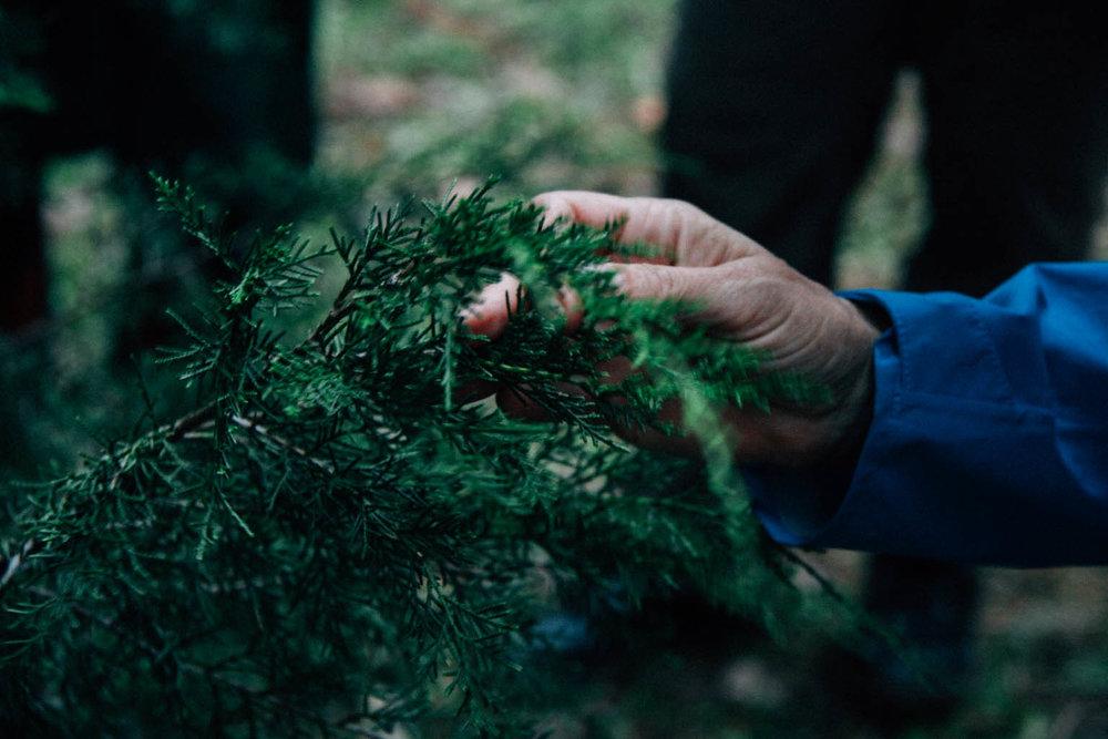 Juniperus virginiana  - Eastern Red Cedar.