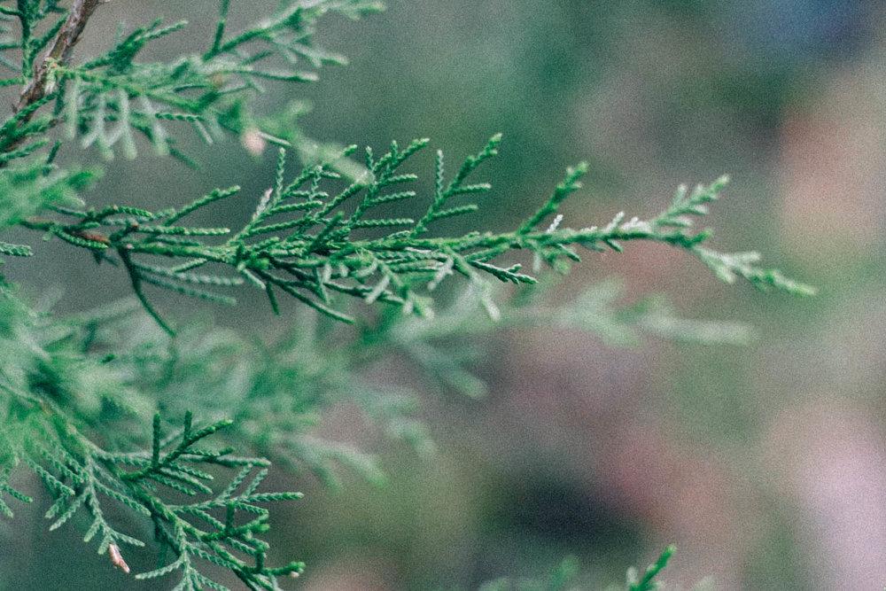 Juniperus virginiana , Eastern Red Cedar