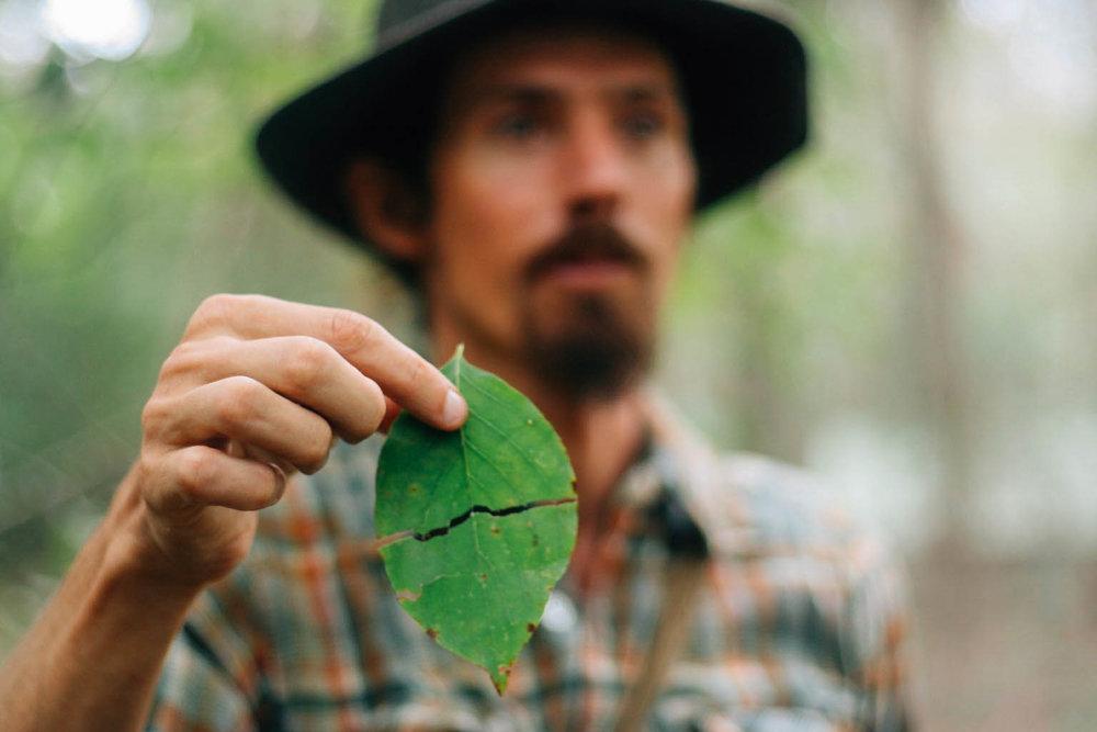 Cornus , Dogwood leaf